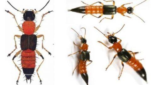 Độc tính của kiến ba khoang mạnh gấp 15 lần nọc rắn hổ