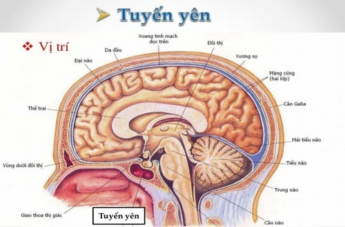 Tuyến yên được tìm thấy ở nền sọ, phía sau mũi với kích thước bằng khoảng hạt đậu. Chức năng tuyến yên là gì?