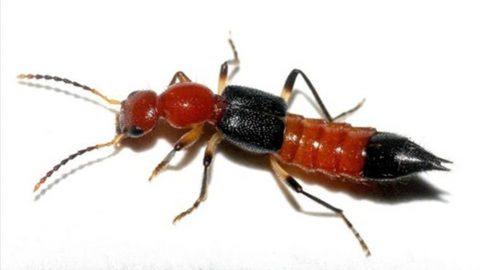 Phòng bệnh viêm da do kiến ba khoang đốt ở trẻ vào mùa mưa