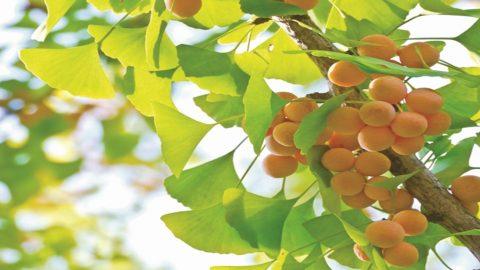 Thiếu máu não uống cây gì giúp tăng tuần hoàn máu não?