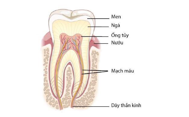 Tủy răng là một tổ chức chứa rất nhiều dây thần kinh và mạch máu, nằm giữa ngà răng.