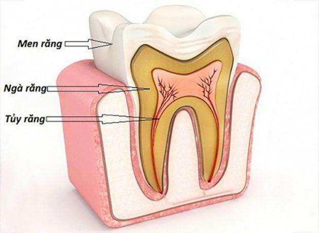 Ngà răng không bị lộ ra ngoài và được men răng che phủ hoàn toàn