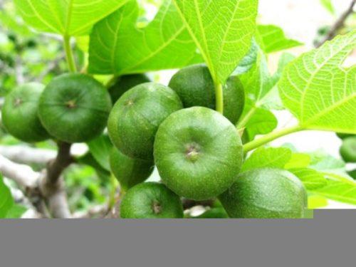 Quả sung và lá sung còn được dùng để chữa bệnh trĩ, táo bón, kiết lị, khó đại tiện gây đau hậu môn...