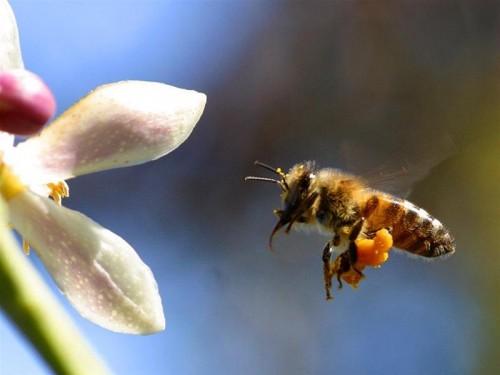 Chữa đau khớp bằng nọc ong