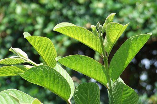Lá ổi là một vị thuốc thường dùng để chữa viêm đại tràng bằng bài thuốc dân gian