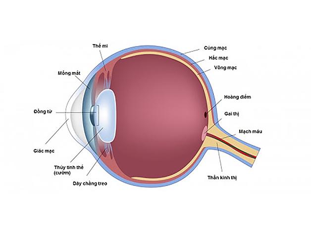 Thuỷ tinh thể là một bộ phận của mắt người, có cấu tạo và vai trò y như một thấu kính trong suốt.