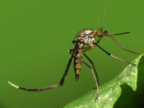 Muỗi vằn mang virus sốt xuất huyết.