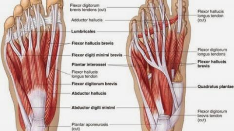 Cấu tạo xương bàn chân, gãy xương bàn chân bao lâu thì lành?