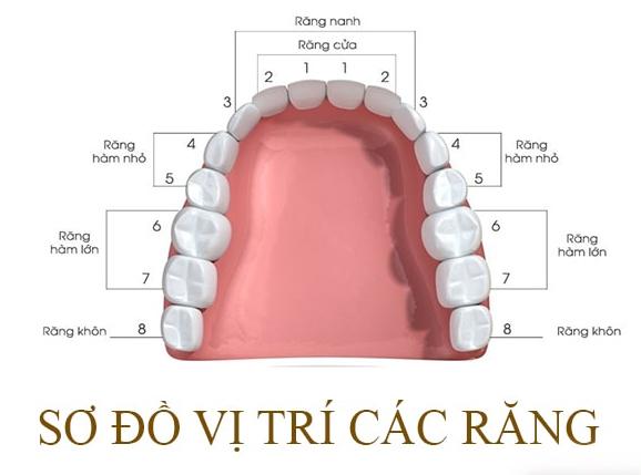 Với những người chưa mọc hoặc không mọc răng khôn thì răng số 7 là răng cuối cùng, mọc ở 4 góc của cung hàm