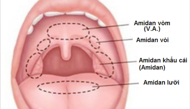 Amidan là các tổ chức lympho, nằm ở bên trong họng, xếp thành một vòng trònm bao quanh họng, còn được gọi là vòng Waldeyer.