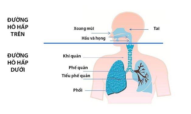 Đường hô hấp trên bao gồm các bộ phận từ thanh quản lên đến mũi như: Thanh quản, xoang, họng, hầu, mũi.