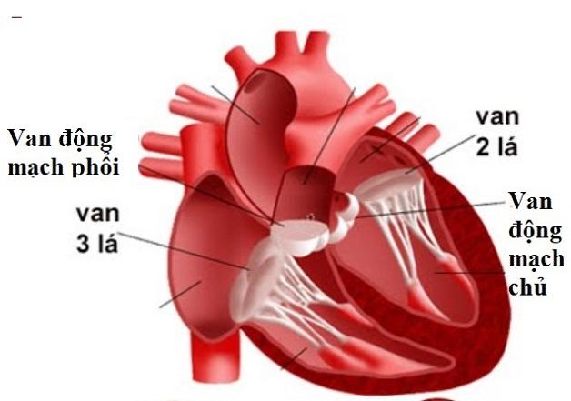 Van động mạch chủ là gì?